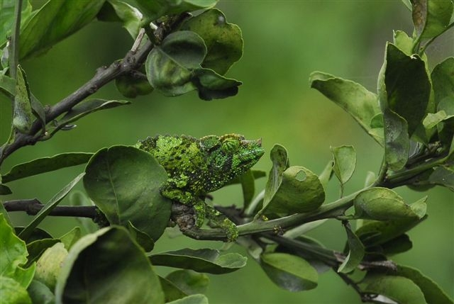 A Chameleon Looking Fo...